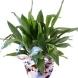 Красивоцветущие растения.  Разведение кактусов посевом семян.  Аспидистра Aspidistra.